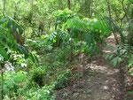 junge Mahagonibäume an alten Kogiwegen