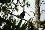 der Santa Marta Rotschwanzsittich (Pyrrhura viricata)