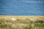 Schäflein, Isle of Skye, Schottland