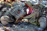 Kampf der Leguane