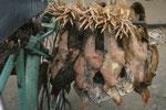 Hühner werden lebend transportiert um sie frisch zu halten