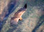 Ein junger Condor der seine Federn noch nicht gewechselt hat (glaubt der Sven aber eigentlich hat er keine Ahnung) hihi