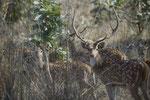 Massig Hirsche in den Nationalparks