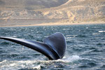 Die gigantische Walflosse die bis zu 5 Meter gross sind