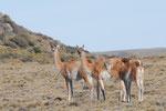 Guanacos die groesste der 4 Llamaarten