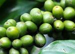 Kaffeebohnen gibts reichlich in Kolumbien