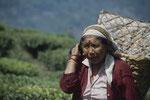 Darjeelings Teeplantagen