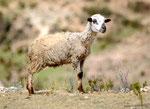 Die Leute haben hier viele Schafe