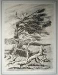 Alte Kiefer, Bleistift 15x20 cm