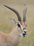 Grantgazelle, Masai Mara (Kenia)