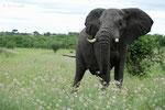 Afrikanischer Elefant, Botswana