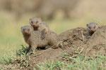 Streifenmanguste, Masai Mara (Kenia)