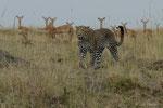 Leopard, Masai Mara (Kenia)