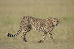 Gepard, Masai Mara (Kenia)