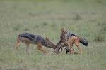 Schabrackenschakal, Masai Mara (Kenia)