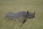 Spitzmaulnashorn, Masai Mara (Kenia)