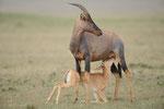Leierantilope, Masai Mara (Kenia)