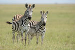 Steppenzebra, Masai Mara (Kenia)