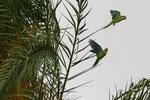 Papageienpärchen