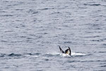 Orca Whales Paradies Bay Antartica