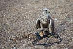 Falke mit Küken