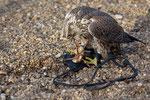 Falke frisst Küken
