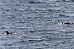 Orca Whales Paradies Bay Antartica