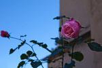 auch im Winter blühen Rosen