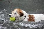 schwimmender Hund