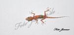Gecko an der Zimmerdecke