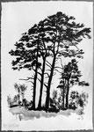 Kiefergruppe oberhalb Rikon im Tösstal, 42x30 cm, chin. Tusche