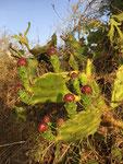 vom riesigen Kaktus Busch im Gestrüpp nehmen wir Ableger für die Kaktusrabatte