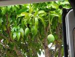 Mangos kommen zur Tür herein