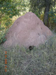 """Termitaio di """"Fungus-growing termites"""" che raccolgono detriti organici per coltivare colonie di funghi a scopo alimentare"""