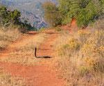 Naja nigricollis, una delle specie di cobra sputatore