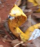 A differenza di altri cobra che cercano di fuggire, il cape cobra fa fronte a qualsiasi disturbatore ed è respnsabile della maggior parte dei decessi nella parte meridionale di SudAfrica e in Botswana