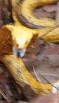 Il morso del cape cobra