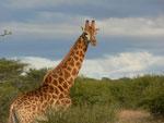 giraffa reticolata