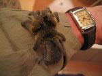 Il baboon spyder, grossa migale africana, non è pericolosa per l'uomo,anche se il suo morso è molto doloroso ( già provato) e può causare malessere generale anch intenso per un paio di giorni