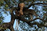 Ingwe, il leopardo
