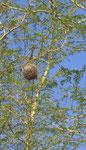 Nido di tessitore. Le diverse specie di tessitori costruiscono nidi con architetture diversissime. Alcuni con corridoio lungo, altri breve, altri senza imboccatura