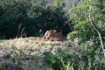 """Termitaio di """"snouted harvester termites"""" o termiti raccoglitrici nasute"""