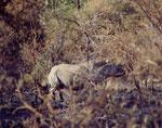 """Il black rhino (Diceros bicornis) è più piccolo ed aggressivo del cugino """"bianco"""" ( Cerathoterium simum)"""