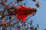 Coral tree. Usato anch'esso, a volte, come veleno per frecce, ha una potenza minore.