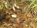 La vipera del Gabon (Bitis gabonica gabonica) la più grande delle vipere (fino a 200 cm. e 12 Kg. di peso)