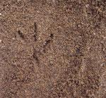 Wattled plover, un piviere africano