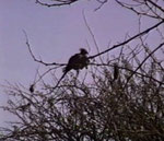 """Go-away ( gray loerie) Il suo verso pare dire """"Go awayyyyy) ad avvisa gli animali del bush dell'approssimarsi di un pericolo"""