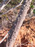 Il knob-wood ha diversi usi medicinali. Usato dalle tribu NGuni per il mal di denti