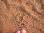 La genetta è un mustelide e non un felino, ma la zampa ha le stesse caratteristiche. Tuttavia, tranne in rari casi, le due indentature sul margine posteriore non rimangono impresse nel terreno, per il modesto peso.