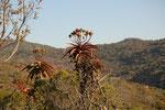 Aloe. Queste piante hanno molti usi medicinali. Le foglie dai margini spinosi sono usate per scarnare le pelli
